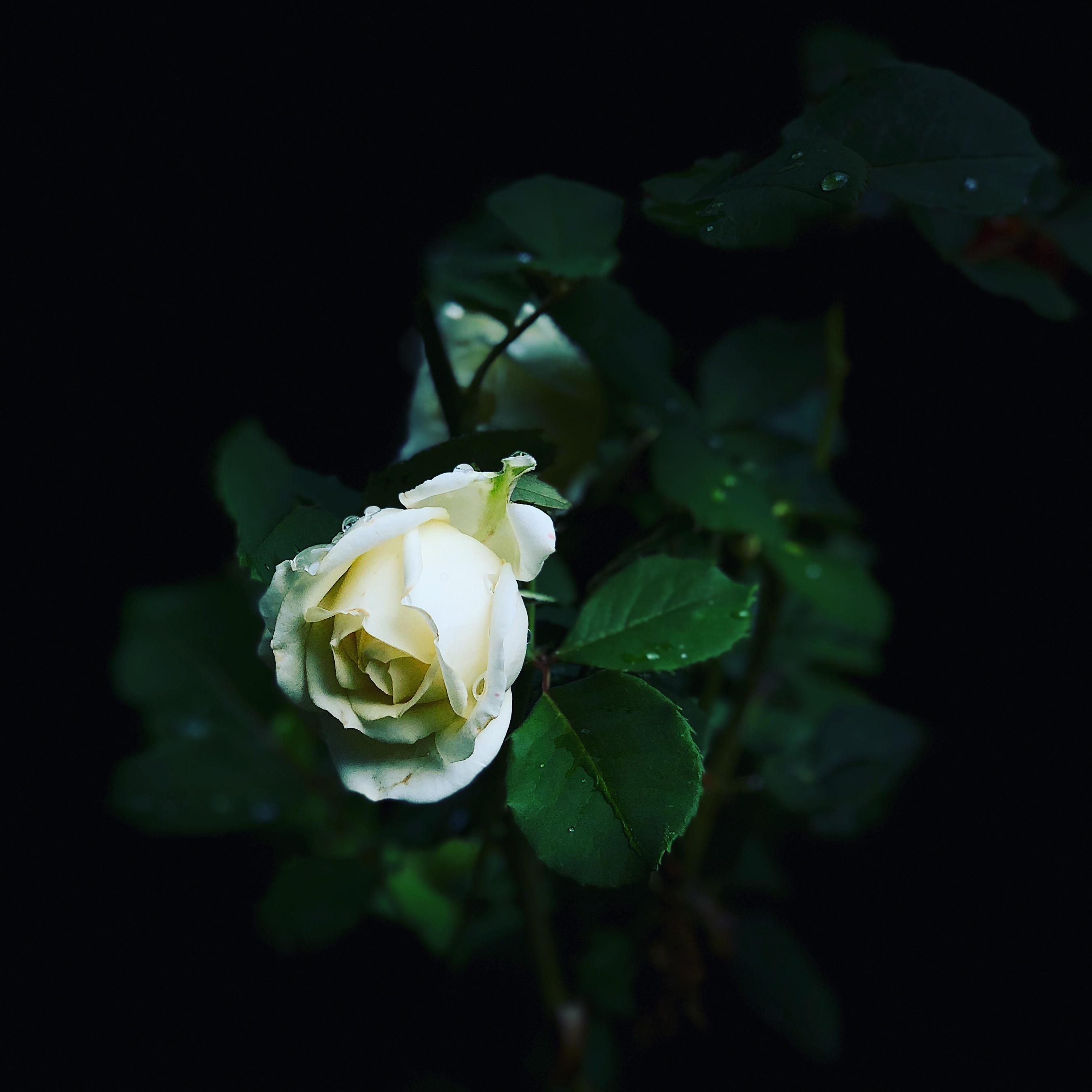 Portré megvilágításban egy rózsa